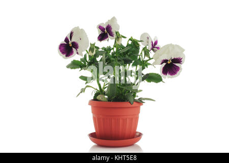 Beautiful violet flower in pot isolated on white background. - Stock Photo
