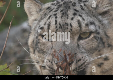 snow leopard, Panthera uncia, captive, close up portraits with facial expressions sitting on a rock and amongst - Stock Photo
