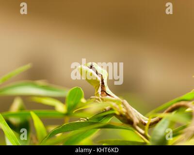 Portrait of young serated Caquehesd Iguana lizard - Laemanctus serratus - Stock Photo