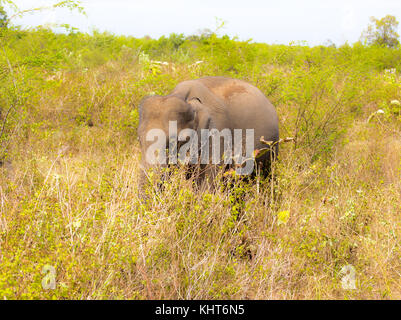 Wild Elephants In Sri Lanka - Stock Photo