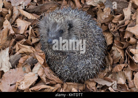 hedgehog, Erinaceus europaeus, captive, close up portrait while laying on a bed of dead leaves in autumn. - Stock Photo