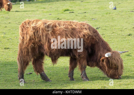 highland cow, coo, Bos taurus, close up portrait while grazing in the sunshine near aberlour in moray, Scotland. - Stock Photo