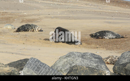 Two fighting large dominant Grey Seal bulls (Halichoerus grypus) on a beach in Horsey, Norfolk, UK. - Stock Photo