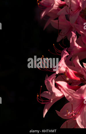 Close up of pink azalea garden flowers in dappled sunlight - vertical image with black background negative space - Stock Photo