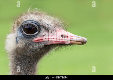 The heads of an ostrich on a green background. A funny ostrich, a bird with big eyes, a close up, selective focus - Stock Photo