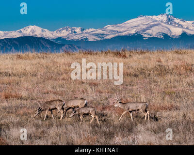 Mule deer, autumn, Rocky Mountain Arsenal National Wildlife Refuge, Commerce City, Colorado. - Stock Photo
