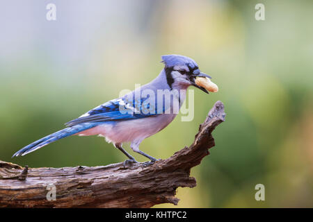 american blue jay in autumn - Stock Photo