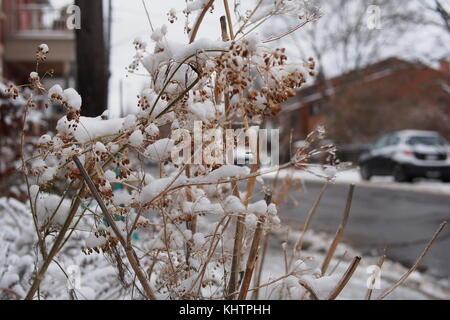 Street scene - snow precariously balanced on dry herbs in a Glebe house front garden, Ottawa, Ontario, Canada. - Stock Photo