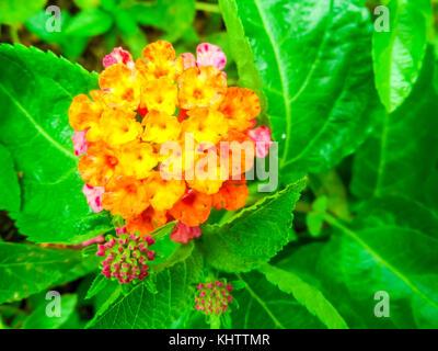 Lantana camara colorful two tone bloom in the garden - Stock Photo