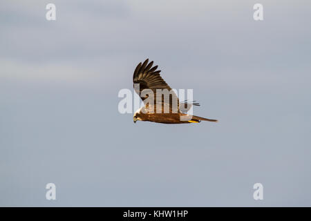 A Western Marsh Harrier (Circus aeruginosus) also known as Eurasian Marsh Harrier or just Marsh Harrier hunting - Stock Photo