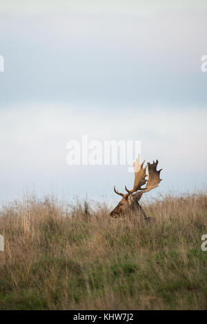 A buck Fallow Deer ( Dama dama, Cervidae) sitting in the grass during the rutting season. - Stock Photo