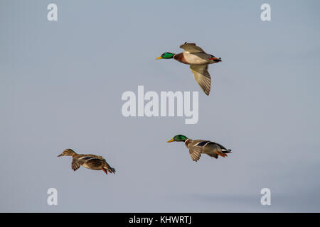 Two males a one female Mallard (Anus platyrhynchos) preparing to land with wings spread wide. - Stock Photo