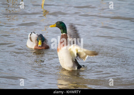 Two male Mallards (Anus platyrhynchos) on a pool in autumn with one raising up and flapping its wings. - Stock Photo