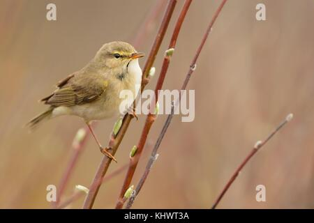 Willow Warbler (Phylloscopus trochilus) sitting on the willow. Little songbird in the scrub. Light spring. - Stock Photo