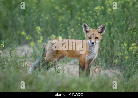 Red fox pup in the Bighorn Basin of Wyoming - Stock Photo