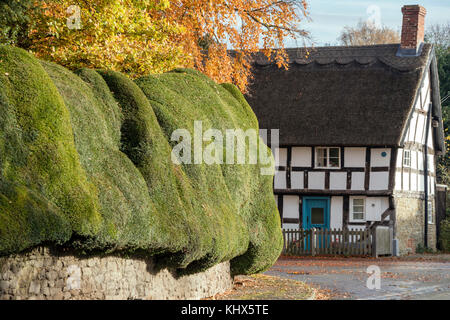 The ancient Yew hedge and Timber-framed cottage in the village of Brampton Bryan, Herefordshire - Stock Photo