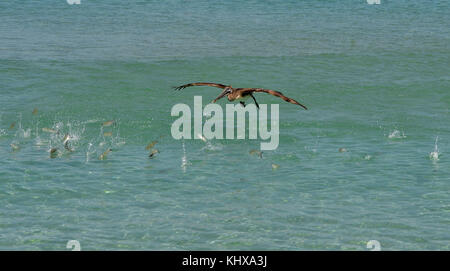 FORT LAUDERDALE, FL - MAY 06: Pelican chases and catches fish at the Ford Lauderdale Air Show on May 6, 2017 in - Stock Photo