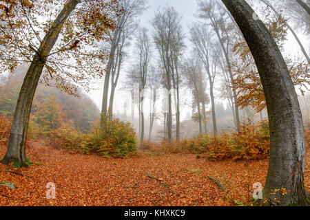 Misty haze in a beechwood in autumn - Stock Photo