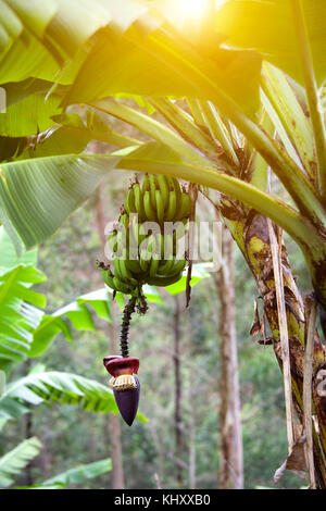 Banana palm with fruits and seeds, Birayi, Bujumbura, Burundi, Africa - Stock Photo