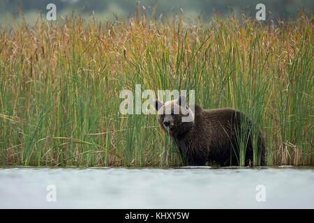 Brown Bear ( Ursus arctos ), young cub, adolescent, standing in shallow water between autumnal coloured reed, feeding - Stock Photo