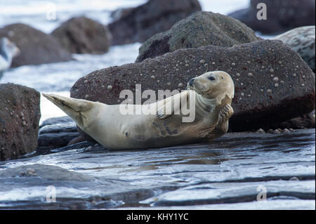 A Grey Seal (Halichoerus grypus) on the rocky beach below Ravenscar at Robin Hoods Bay, Whitby on the North Yorkshire - Stock Photo