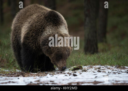 European Brown Bear / Braunbaer ( Ursus arctos ), young cub, standing at the edge of a forest, licks, licking on - Stock Photo