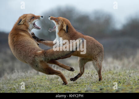 Red Foxes ( Vulpes vulpes ), two adults, in agressive fight, fighting, threatening with wide open jaws, attacking - Stock Photo