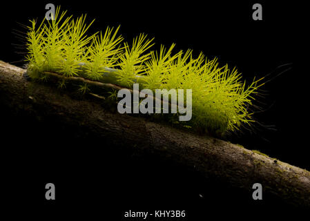 An unidentified caterpillar from the Peruvian jungle with dramatic backlighting to make its hairs/spines stand out. - Stock Photo