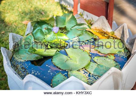 Lily Flower In Little Pond Leaves Golden Fish Aquarium