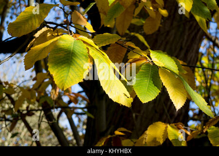 Sweet Chestnut tree (Castanea sativa) in autumn, UK - Stock Photo