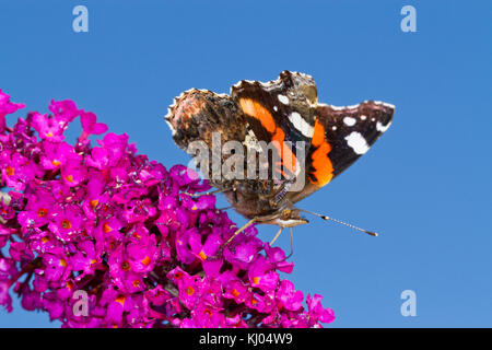 Red Admiral butterfly (Vanessa atalanta) adult feeding on Buddleia 'Royal Red' in a garden. Powys, Wales. August. - Stock Photo