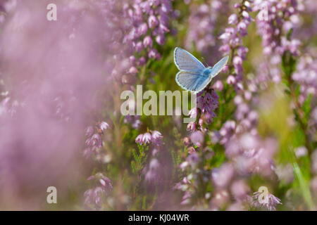 Common Blue butterfly (Polyommatus icarus) adult male feeding on Heather (Calluna vulgaris) flowers. Powys, Wales. - Stock Photo