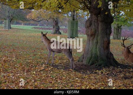 wild deer in park - Stock Photo