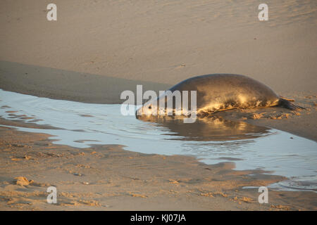 A Grey Seal (Halichoerus grypus) resting on the beach at the edge of the sea at Horsey, Norfolk, UK. - Stock Photo
