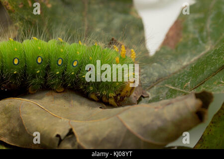 IMPERIAL MOTH CATERPILLAR (EACLES IMPERIALIS)