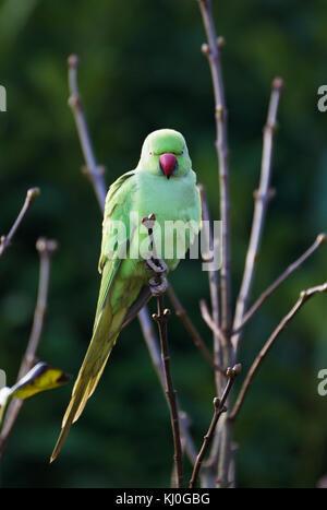 Female rose-ringed parakeet (Psittacula krameri), feral animal in Cologne/Germany, in Gardensitting on a branch - Stock Photo