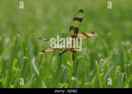 Halloween pennant dragonfly lands on blade of grass - Stock Photo