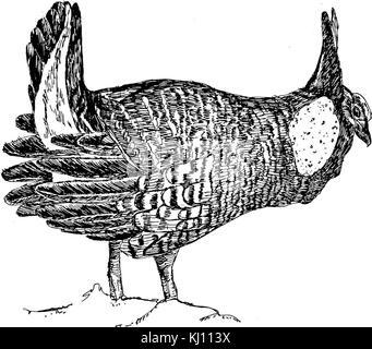 Line art black and white illustration of prairie chicken bird tympanuchus cupido - Stock Photo