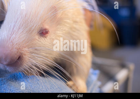 White african crested porcupine. hedgehog with pink eyes - Stock Photo