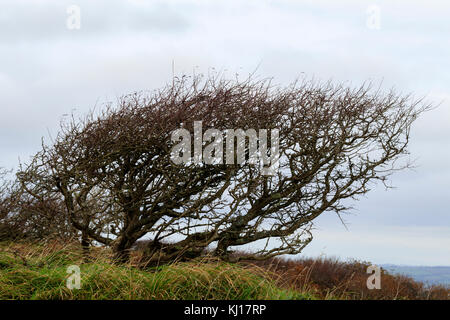 Winter bare, wind sculpted hawthorn, Crataegus monogyna, on the cliffs of Sharp Tor above Salcombe, South Devon, - Stock Photo