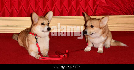 London, UK. 21st Nov, 2017. Corgis attending The World Premiere of The CROWN at the Odeon Leicester Square London - Stock Photo