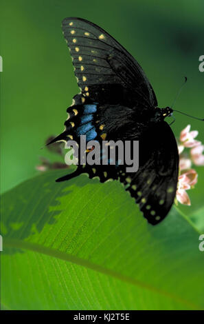 Black swallowtail on wild bergamot - Stock Photo