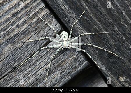 Lichen running-spider, Philodromus margaritatus - Stock Photo