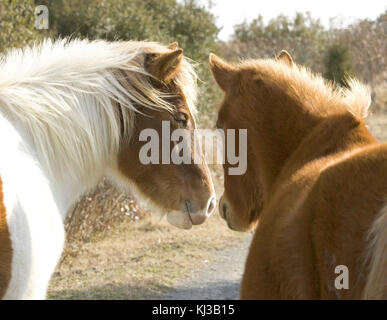 Two wild horses stand closely together equus ferus - Stock Photo