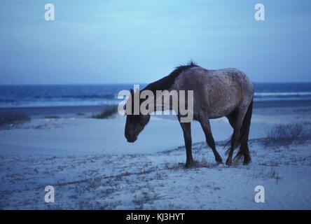 Wild horse walking on the beach equus ferus - Stock Photo