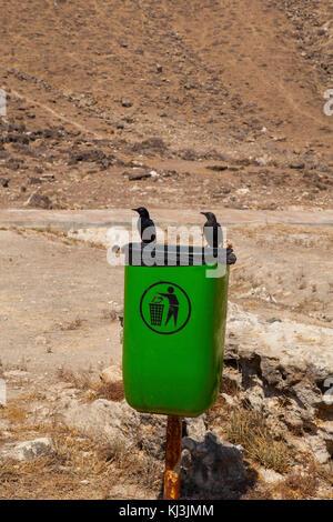 Green public garbage bin and two black birds on side of pathway in Al Mughsayl beach. Dhofar, Oman. - Stock Photo