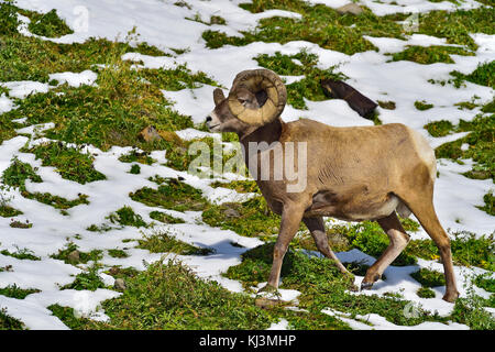A side view of an adult full curl Bighorn ram (Ovis canadensis); walking along a hillside near Cadomin Alberta Canada. - Stock Photo
