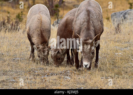 A mother Bighorn Sheep and two kids  (Ovis canadensis) feeding on some dry grass in Jasper National Park Alberta, - Stock Photo