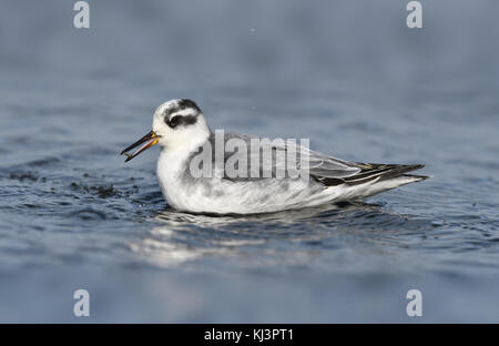 Grey Phalarope - Phalropus lobatus - Stock Photo
