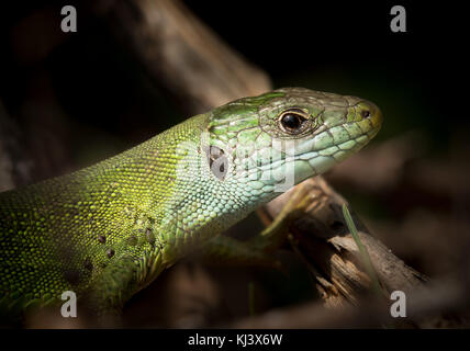 Portrait of a green lizard resting in the sun, Croatia - Stock Photo